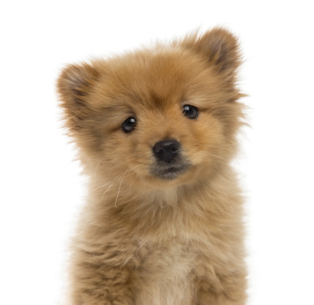 Headshot of a Spitz puppy (2 months old) photo