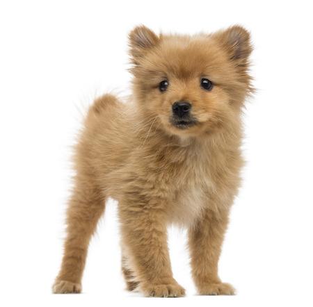 2 months: Spitz puppy (2 months old)
