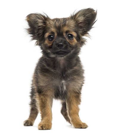 Chihuahua Puppy (3 months old) Stock Photo