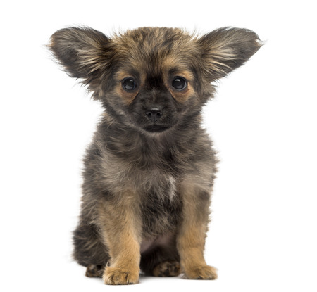 chihuahua 3 months old: Chihuahua Puppy (3 months old) Stock Photo