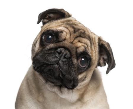 9 months old: Headshot de un Pug (9 meses)