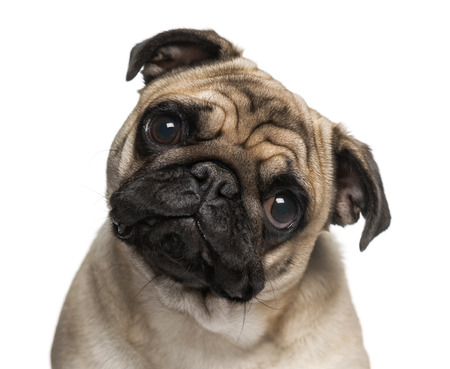 9 months old: Headshot of a Pug (9 months old) Stock Photo