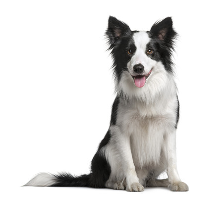 animal border: Border Collie (18 months old)