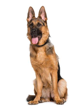 alsatian shepherd: German Shepherd Dog (9 months old) Stock Photo