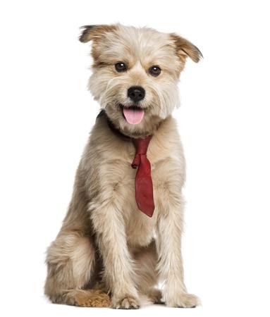pyrenean: Pyrenean Shepherd wearing a tie (3 years old)