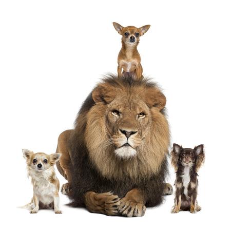 Chihuahua und Lion