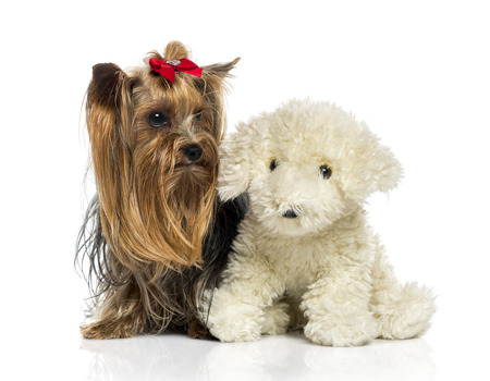 25 years old: Yorkshire Terrier close to a teddy bear (2.5 years old) Stock Photo
