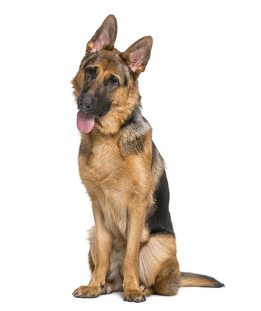 9 months old: German Shepherd Dog (9 months old) Stock Photo