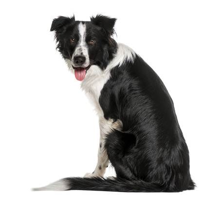 back view of a black and white Border Collie looking at he camera