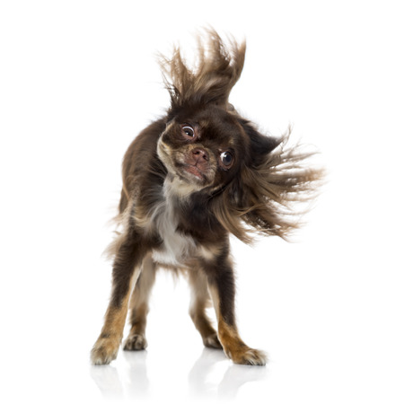 shaking out: Chihuahua shaking itself