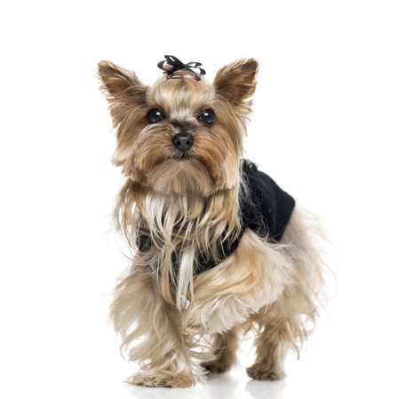 55 years old: Dressed Yorkshire Terrier (5.5 years old) Stock Photo