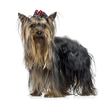 25 years old: Yorkshire Terrier (2.5 years old)