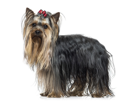 25 years old: Side view of a Yorkshire Terrier (2.5 years old)
