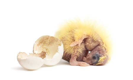 hatched: Cockatiel next to the egg from which he hatched out, 2 days old, isolated on white