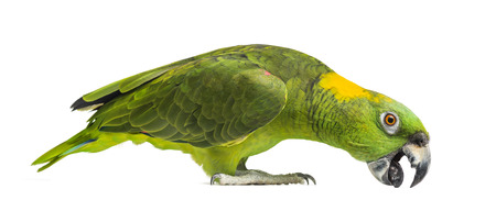 grabing: Yellow-naped parrot pecking (6 years old), isolated on white