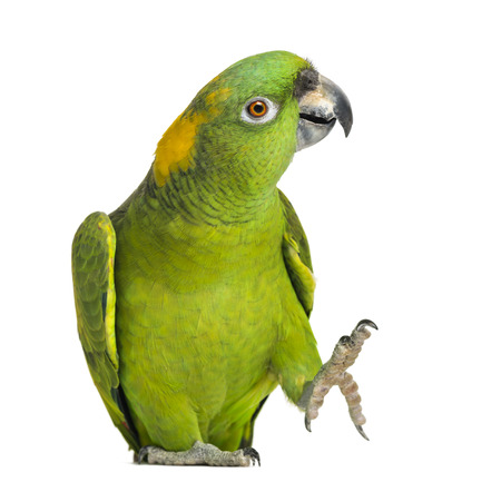 grabing: Yellow-naped parrot (6 years old), isolated on white Stock Photo