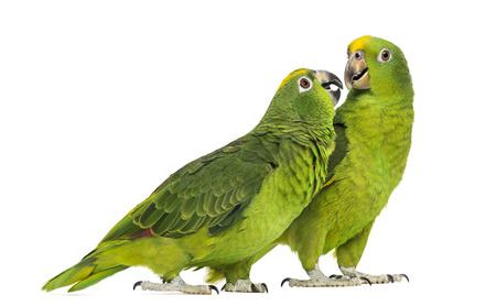 two parrots: Panama Amazon and Yellow-crowned Amazon isolated on white