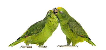 animals together: Panama Amazon and Yellow-crowned Amazon pecking, isolated on white Stock Photo