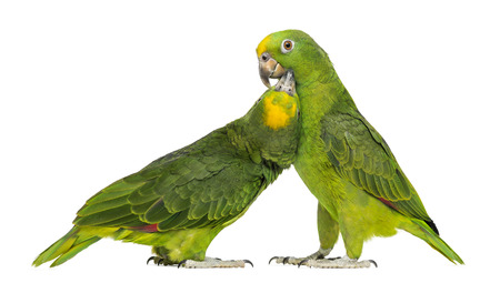 two parrots: Panama Amazon and Yellow-crowned Amazon pecking, isolated on white Stock Photo