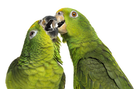 Close-up of a Panama Amazon and Yellow-crowned Amazon pecking, isolated on white photo