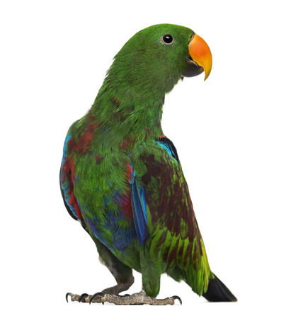 7 months: Male Hybrid Eclectus parrot (7 months old) isolated on white