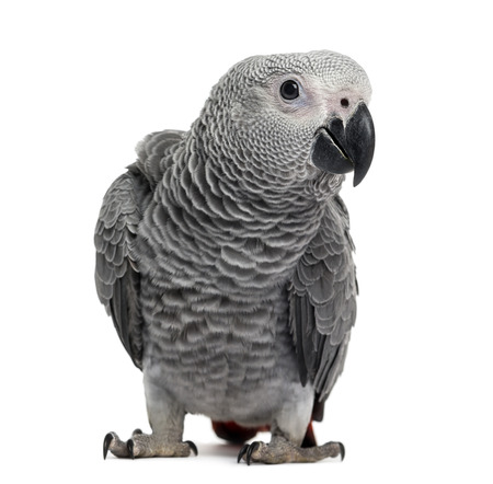 erithacus: African Grey Parrot (3 months old) isolated on white