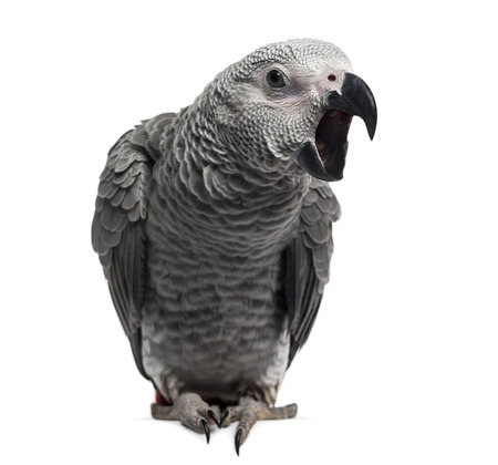 African Grey Parrot (3 months old) isolated on white photo