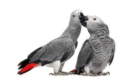 Two African Grey Parrots (3 months old) pecking,  isolated on white photo
