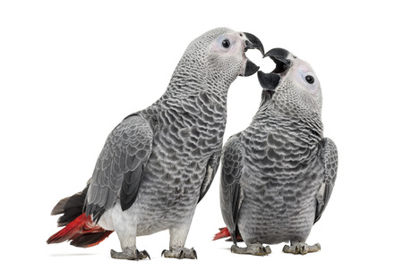 Two African Grey Parrot (3 months old) pecking,  isolated on white photo