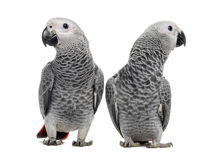 african grey parrot: Two African Grey Parrot (3 months old) isolated on white