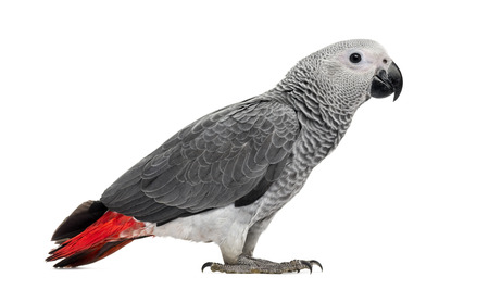 african grey parrot: African Grey Parrot (3 months old) isolated on white