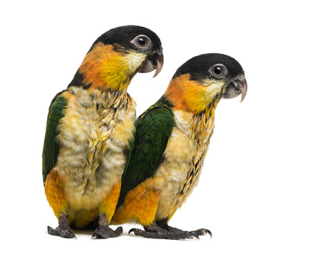 psittacidae: Two Young Black-capped Parrots (10 weeks old) isolated on white