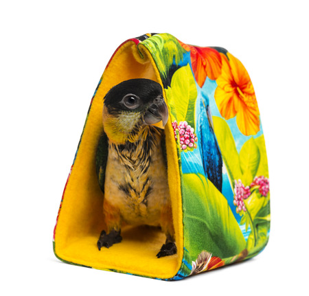 psittacidae: Young Black-capped Parrot (10 weeks old) standing in a bag, isolated on white