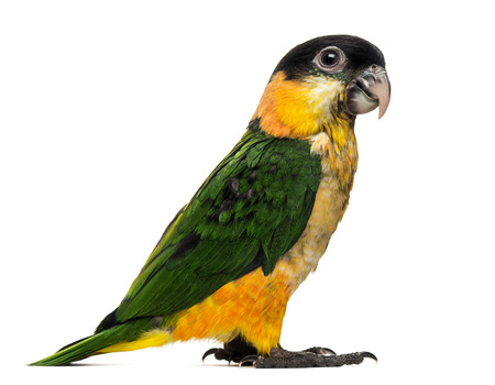 psittacidae: Young Black-capped Parrot (10 weeks old) isolated on white