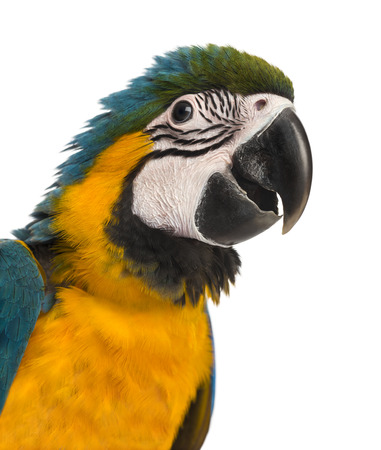 Close-up of a Blue-and-yellow Macaw (14 weeks old) isloated on white photo