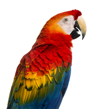 Close-up of a Scarlet Macaw (4 years old) isolated on white photo
