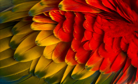 Close-up on a Scarlet Macaw feathers (4 years old) isolated on white photo