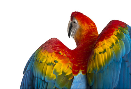 deployed: Rear view close-up of a Scarlet Macaw its wings deployed (4 years old) isolated on white