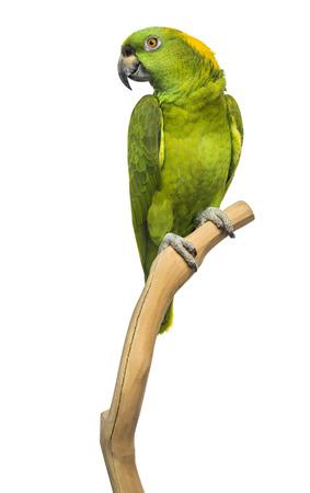 loros verdes: Loro de nuca amarilla (6 años) posado en una rama, aislado en blanco