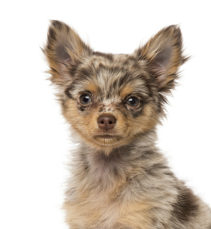 Close-up of a Chihuahua puppy (3 months old) Stock Photo
