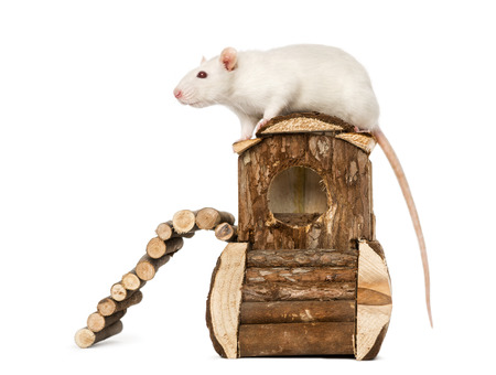 norvegicus: Rat (8 months old) standing on a mouse house, isolated on white