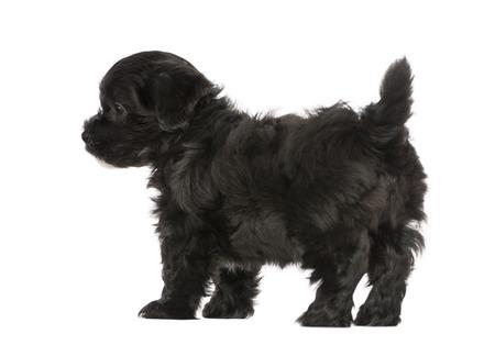 havanese: Havanese puppy (8 weeks old)