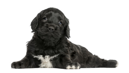 Portuguese Water Dog (6 weeks old) isolated on white photo