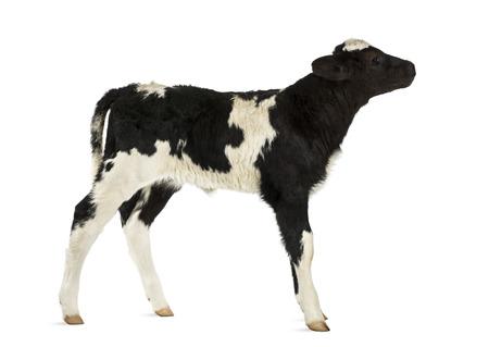 Belgian blue calf isolated on white photo