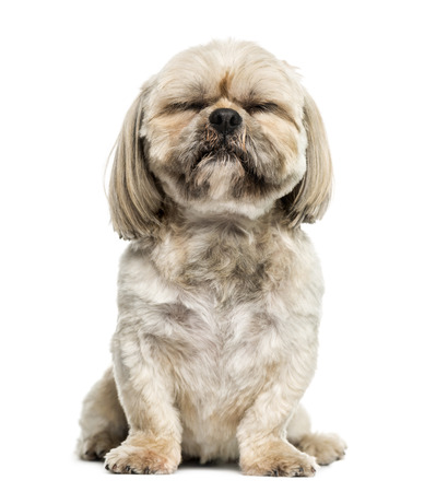 shih: Shih Tzu (3 years old)