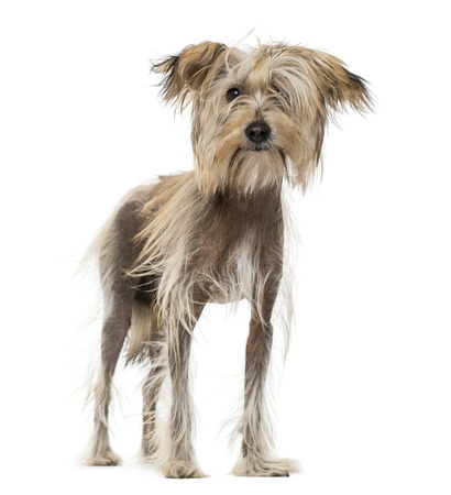 Chinese Crested Dog (10 months old) Stock Photo