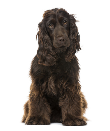 english cocker spaniel: English Cocker Spaniel (8 months old)