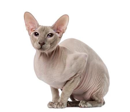 15 months old: Peterbald (15 months old)