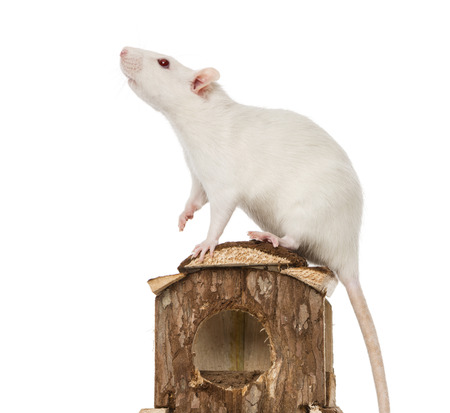 norvegicus: Rat (8 months old) standing on a mouse house Stock Photo