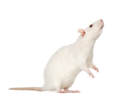 norvegicus: white Rat on hind legs (8 months old)